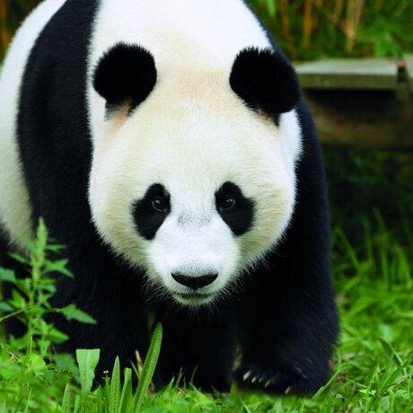 reuzenpanda-wu-wen-ouwehands-dierenpark-1-.jpg